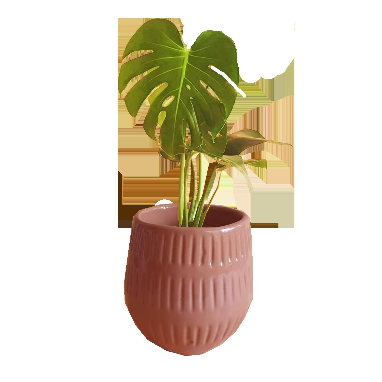 Plant Cult Monstera Deliciosa