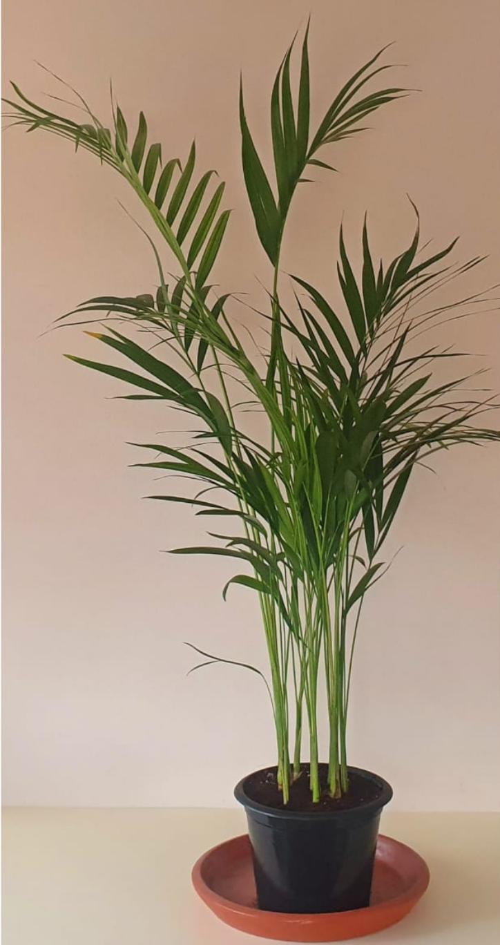 Natural Areca Palm 150 cm
